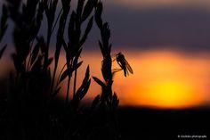 Insekt bei Sonnenuntergang by Babs Helferich on 500px
