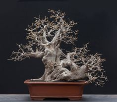 5 X European Hornbeam Carpinus betulus bonsai trees best offer PP Pre Bonsai, Bonsai Art, Bonsai Trees, Pond Plants, Cactus Plants, House Plants, Bonsai Pruning, Silver Fir, Casual