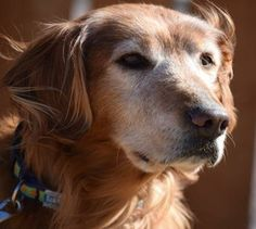 This is Rookie - 11 yrs. He is neutered, current on vaccinations, potty trained & prefers a home with no young kids. Rookie is new to rescue & settling into foster. Golden Retriever Rescue of the Rockies, CO. http://www.petfinder.com/petdetail/28670431/ http://goldenrescue.com/rookie-3/