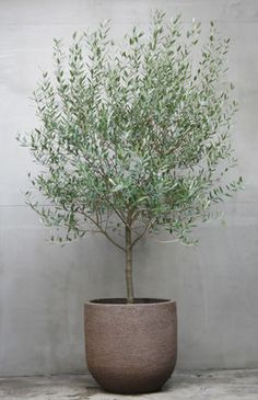olive tree for front garden feature option Indoor Olive Tree, Potted Olive Tree, Indoor Trees, Indoor Plants, Dwarf Olive Tree, Big Plants, Outdoor Planters, Outdoor Gardens, Hanging Planters