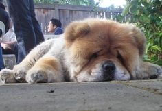 chow chow tired