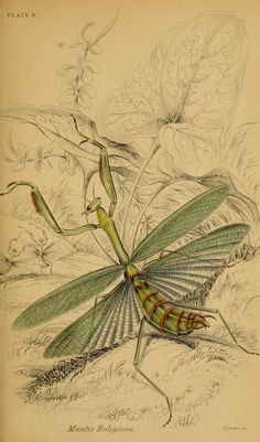 Naturalist's Library. Mantis Tattoo, Mantis Religiosa, Praying Mantis, Insect Art, Bugs And Insects, Botanical Drawings, Scrapbook Paper Crafts, Natural History, Animal Drawings