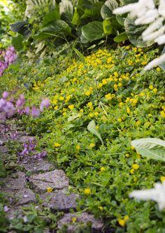 Kukoistavat perennat: kasvupaikat, lajit ja lisääminen   Meillä kotona