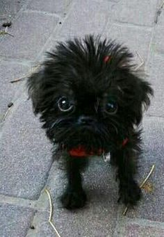 Beatrix, the Cutest Dog Ever? Baby Puppies, Cute Puppies, Cute Dogs, Dogs And Puppies, Animals And Pets, Baby Animals, Funny Animals, Griffon Dog, Brussels Griffon Puppies