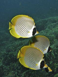 Butterflyfish / Bali