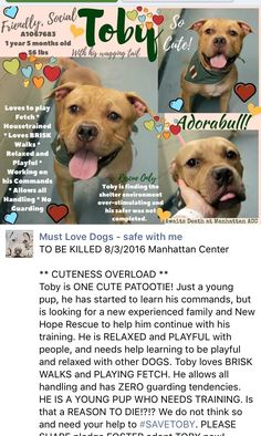 MURDERED 8/3/16 Manhattan Center My name is TOBY. My Animal ID # is A1067683. I am a male brown and white am pit bull ter. The shelter thinks I am about 1 YEAR 5 MONTHS old. I came in the shelter as a OWNER SUR on 07/29/2016 from NY 10458, owner surrender reason stated was PERS PROB. http://nycdogs.urgentpodr.org/toby-a1067683/