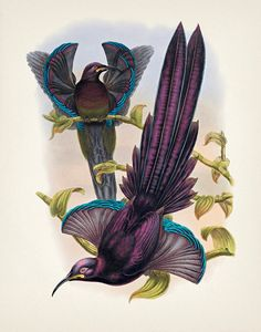 Sicklebill Pájaro de Elliot del Paraíso - 8x10 - impresión de la bella arte de una historia natural de época antigua ilustración