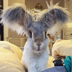 I think the level of cute may be fatal here! OVERDOSE! Wally the Angora with huge fluffy ears and a silly haircut. He looks like Thumper from Bambi xXx
