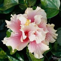 'Amber Suzanne' hibiscus