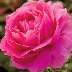 Grande Dame™ Rose