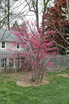 Find Alachian Red Redbud Cercis Canadensis In Columbus Dublin Delaware Grove City Gahanna Bexley Ohio Oh At Oakland Nurseries Inc