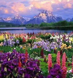 Travel Discover These 21 Natural Places Prove How Colorful and Beautiful Our World Is Wildflower Heaven Grand Teton National Park Wyoming USA Grand Teton National Park, National Parks, Beautiful World, Beautiful Places, Beautiful Gardens, Beautiful Scenery, Beautiful Pictures, Beautiful Norway, Beautiful Beautiful