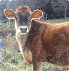 Stonyfield Cow named Cocoa