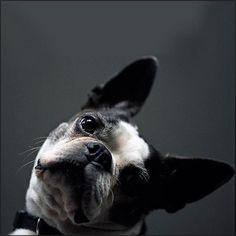 Awww - Boston Terriers, LOVE them