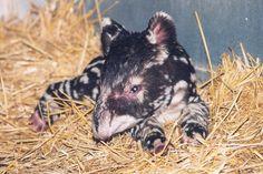 baby mountain tapir