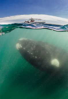 """A southern right whale by Justin Hofman. """"Swimming along with a curious right whale calf was nerve-racking [sic]. At any moment I thought 'mom' was eventually going to get annoyed with me and swat me with her 15-foot tail -- and I'd be a goner,"""" Hofman told the Daily Mail. """"Yet, with every passing minute we felt more comfortable around each other and they became curious about us and would make closer passes."""""""