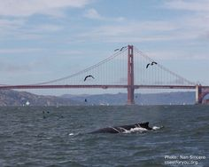 Golden Gate humpback whales