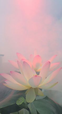 187 Best Kamal The Lotus Flower Images In 2017 Beautiful Flowers