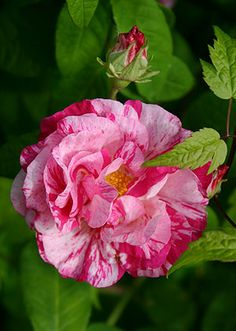 Rosa gallica 'Versicolor'    ROSA MUNDI - grown in the UK for 400 years.  I have something similar in my garden.