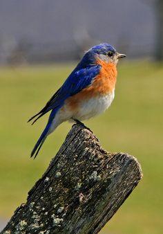 Bluebird - A bluebird sits on a fence post. Pretty Birds, Beautiful Birds, Crazy Bird, Rare Birds, Kinds Of Birds, Tier Fotos, Little Birds, Wild Birds, Bird Watching