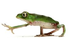 Walking Tree Frog [Thank you, I'd rather walk...]