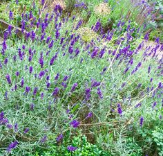 Lavendel i full blom
