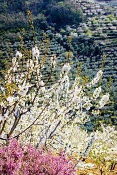 Blancas ramas de cerezo y flores de brezo  Extremadura  Spain