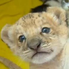 """Check out Kiara, the world's first liliger cub just born in a Siberian zoo. What's a liliger? Well, her dad is an African lion and her mother is a liger— you know, Napoleon Dynamite's favorite animal, """"a lion and a tiger mixed."""