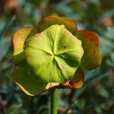 Image result for Nl. pitcher plant