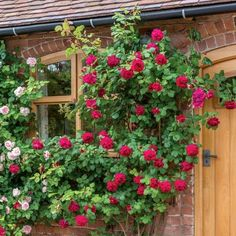 Climbing Roses - David Austin Roses : Wall or Fence New Dawn Climbing Rose, Red Climbing Roses, Roses David Austin, David Austin Rosen, Comment Planter Des Roses, Shadow Plants, Rose Trellis, Small Courtyard Gardens, Fragrant Roses