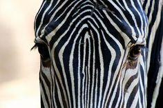 Grevy's Zebra by Pegi Sue