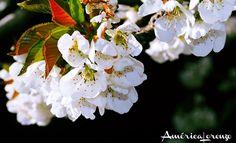 Floración del cerezo en flor   en el valle del jerte   extremadura Reserva Natural, Rose, Plants, Cherry Tree, Flowers, Pink, Roses, Planters, Plant