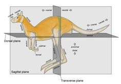 veterinary online-Anatomical Directions & Anatomical Planes