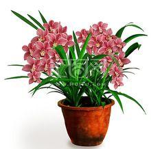 Gladiolo, gladiolo semi, semi gladiolus fiore, autunno e inverno piantare fiori-50 semi/bag(China (Mainland))