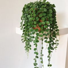 """ON MY """"MUST HAVE"""" LIST!! String of Coins 953 Likes, 19 Comments - Eline (@thecottonplant) on Instagram: """"String of coins is growing sooo fast! I it! A lot of people ask me how I take care of this plant.…"""" #hanginghouseplants"""