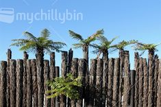 Traditional New Zealand fence formed from ponga logs, some of which sprout fern fronds.