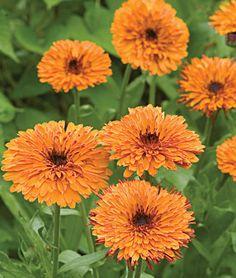 Oktoberfest Calendula Seeds and Plants, Annual Flower Garden at Burpee.com