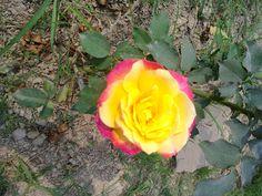 Dual colored rose Winter season Banaras Hindu University