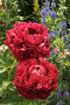 With rose like centres, Henry Bockstoce is an absolutely stunning peony of double scarlet dark red flowers. Tall stems make it a good choice for cut flower. Peony Flower, My Flower, Cactus Flower, All Flowers, Beautiful Flowers, Exotic Flowers, Purple Flowers, Peonies Garden, Dream Garden