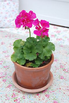 lots of geraniums for my summer balcony Container Flowers, Container Plants, Container Gardening, Succulent Containers, Vegetable Gardening, Geranium Plant, Pink Geranium, Bokashi, Rosa Pink