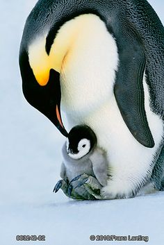 Emperor Penguin with chicks on feet, Weddell Sea, Antarctica Photographic Print by Frans Lanting - Animals Wild Life Nature Animals, Animals And Pets, Baby Animals, Funny Animals, Cute Animals, Penguin Animals, Nature Nature, Wild Animals, Penguin Day