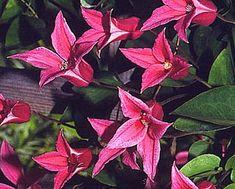 ph roslina 0409 clematis texensis Princess Diana                                                                                                                                                                                 More