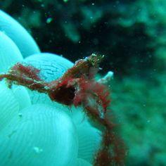 【goma.k_pict】さんのInstagramをピンしています。 《マクロな世界  #かに#蟹#オランウータン#もじゃもじゃ#甲殻類#ダイビング#スキューバダイビング#海#うみ#伊豆》