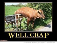 @Sarah Vickery, is this one of your cows trying to play with Angus?