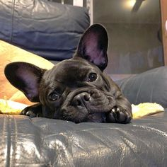 Happy Chilled Sunday my friends. Welcome to Yawnday Monday my friends! wherever you are I hope you have a fantastic and happy day. #frenchbulldoglovers #frenchiesofinstagram #frenchiepuppy #porkypaws #frenchbulldogsofinstagram