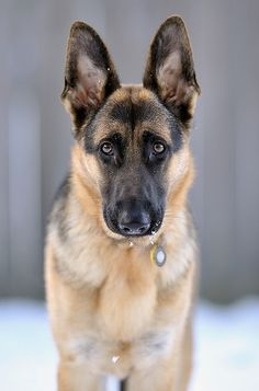 Gorgeous look of German shepherd dog.... click on picture to see more