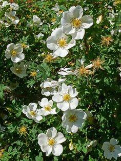 Juhannusruusu, Rosa spinosissima - Puut ja pensaat - LuontoPortti