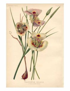Calochortus venustus  Mariposa Lily or Butterfly Tulip    Range: California