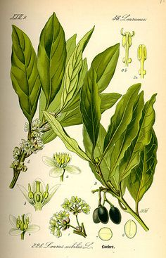 "The Bay laurel tree (species name: Laurus nobilis L.) is the tree that ""Bay leaves"" (used to give flavor to cooking dishes) come from. Botanical Drawings, Botanical Illustration, Botanical Prints, Healing Herbs, Medicinal Plants, Bay Leaves, Plant Leaves, Éphémères Vintage, Laurier Sauce"