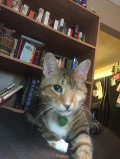 Cheddar is a senior female DSH who is available at Circle Of Friends Animal Society, Athens, GA. She is bonded with Sheba & Circle Of Friends is offering together for the price of one.